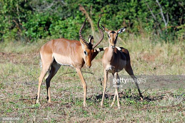 Male placing leg on back of female impala ready for mating Mlilwane National Park Swaziland South Africa