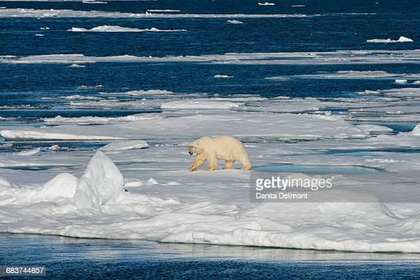 Male polar bear (Ursus maritimus) on ice flow edge, Northeast-Svalbard Nature Reserve, Seven Islands, Sjuoyane, Svalbard, Barents Sea, Norway