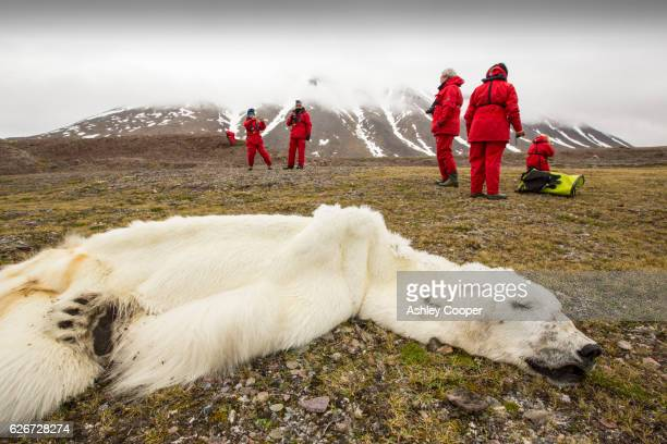 a male polar bear (ursus maritimus) probably starved to death as a consequence of climate change. - malnutrition stock pictures, royalty-free photos & images