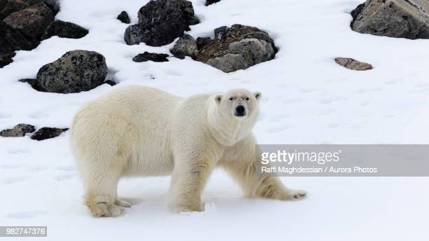 male polar bear (ursus maritimus), raudfjorden, spitsbergen, svalbard and jan mayen, norway - male animal stock pictures, royalty-free photos & images