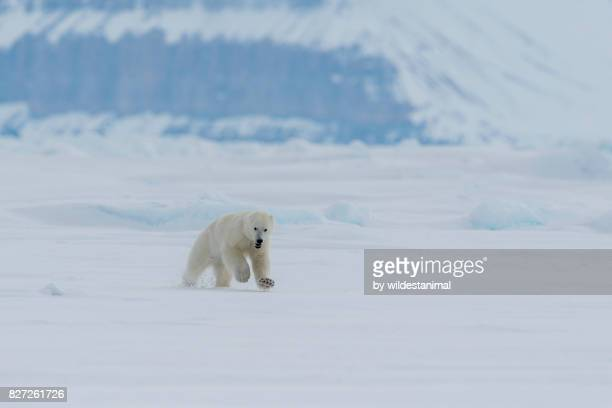 male polar bear running along the ice floe late in the afternoon on a cloudy day, baffin island, canada. - narwhal stock photos and pictures