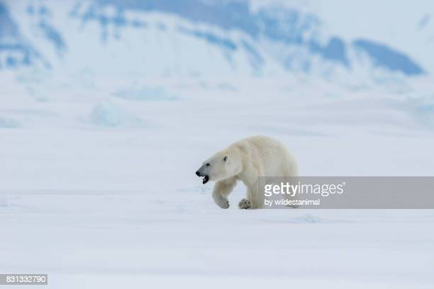 male polar bear walking across the frozen waters of admiralty inlet during the summer before the ice has melted, baffin island, canada. - blue bear stock photos and pictures