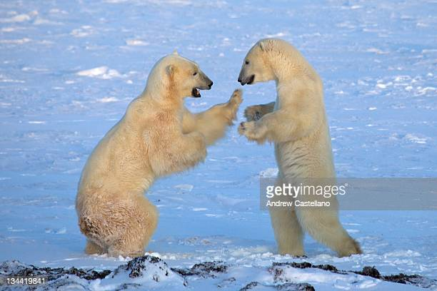 male polar bears sparring - hudson bay stock photos and pictures
