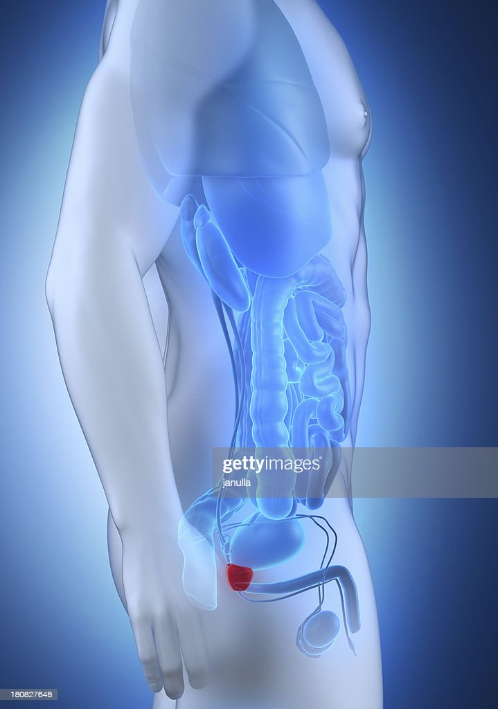 Male Prostate Anatomy Lateral View Stock Photo | Getty Images