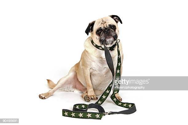 Male Pug holding a leash