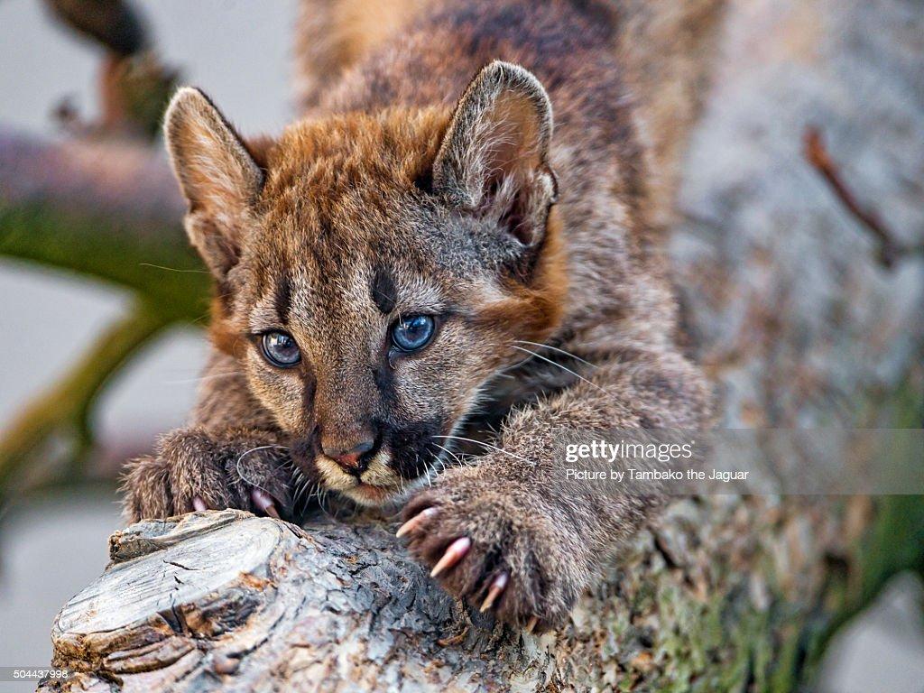 Male puma cub scratching trunk : Stock Photo