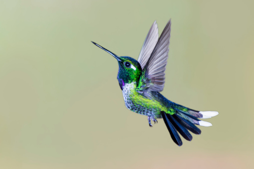 Male Purple-bibbed Whitetip Hummingbird with Wings Up 187348991