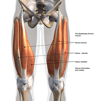 Male Quadriceps Muscles Anterior View Labeled on White 900945768