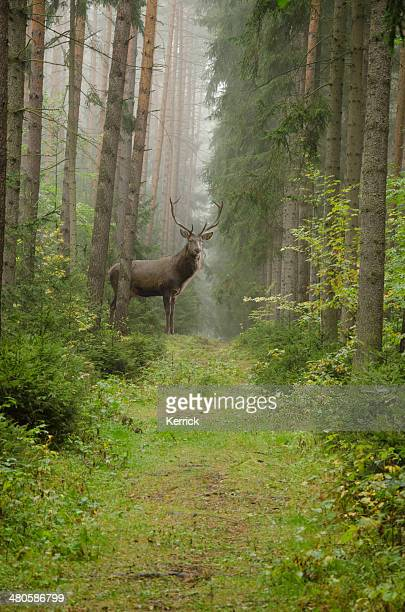 male red deer in forest