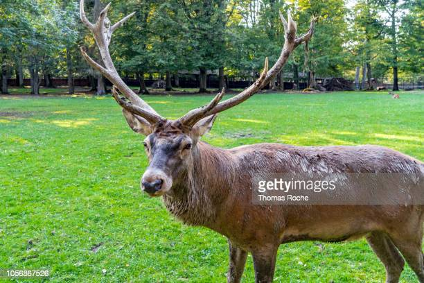 a male red deer stag - bialowieza forest stock pictures, royalty-free photos & images