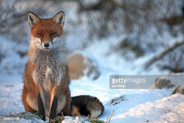 CONTENT] Male red fox vulpes vulpes in the snow in Somerset