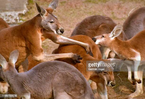 male red kangaroo tickling female kangaroo - massage funny stock pictures, royalty-free photos & images