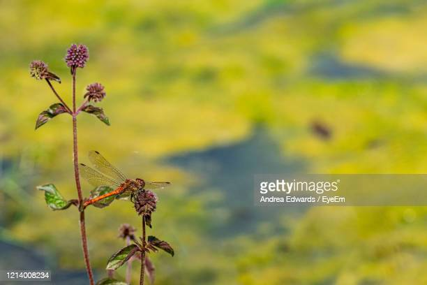 male red veined darter dragonfly, sympetrum fonscolombii, on purple thistle flower - st. albans stock pictures, royalty-free photos & images