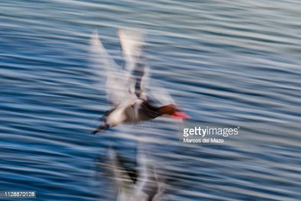 A male redcrested pochard diving duck pictured with low shutter speed flying in a lake during a winter day in Valdebernardo park This specie spends...