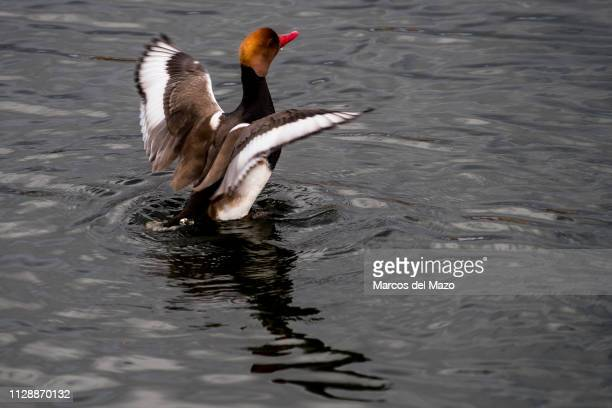Male red-crested pochard diving duck, spreads wings before flying from a lake during a winter day in Valdebernardo park. This specie spends the...