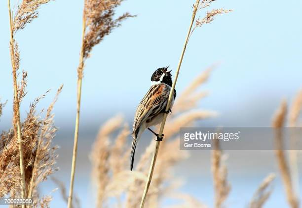 Male Reed Bunting In Song