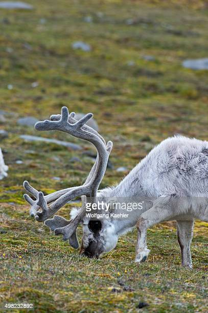 A male Reindeer is grazing on the tundra at Kapp Lee on the Island of Edgeoya Svalbard Norway