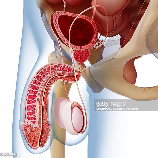male reproductive system, computer artwork. - human testicles stock pictures, royalty-free photos & images