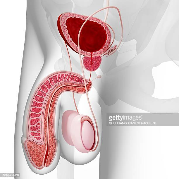 male reproductive system, computer artwork. - urethra stock pictures, royalty-free photos & images