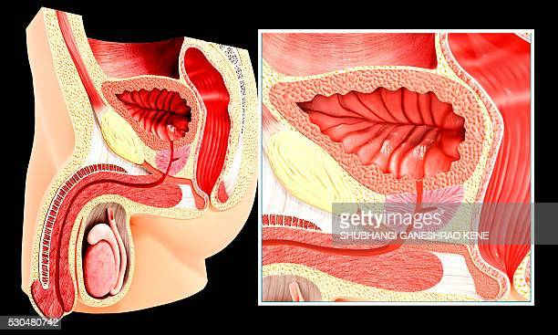 male reproductive system, computer artwork. - male urethra stock photos and pictures