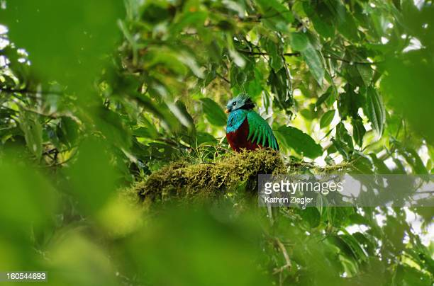male Resplendent Quetzal, Costa Rica