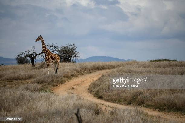 Male reticulated giraffe stands in the Lewa Wildlife Conservancy in northern Kenya near Isiolo on July 17, 2021 as Kenya Wildlife Services conducts a...