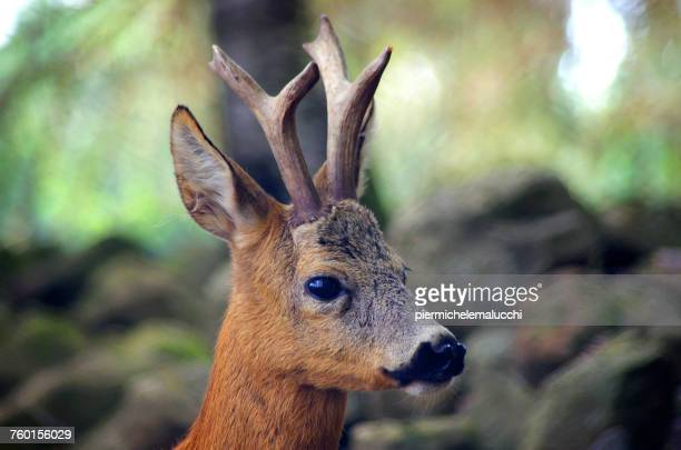 Male roe deer in the woods, Italy