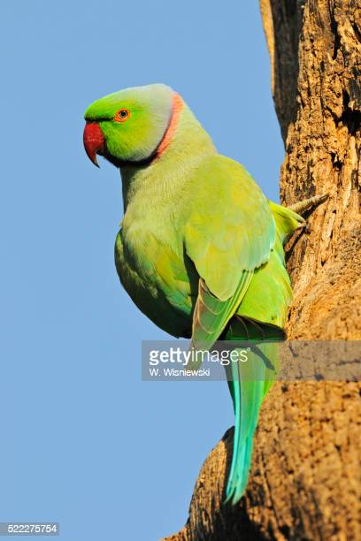 male rose-ringed parakeet - ワカケホンセイインコ ストックフォトと画像