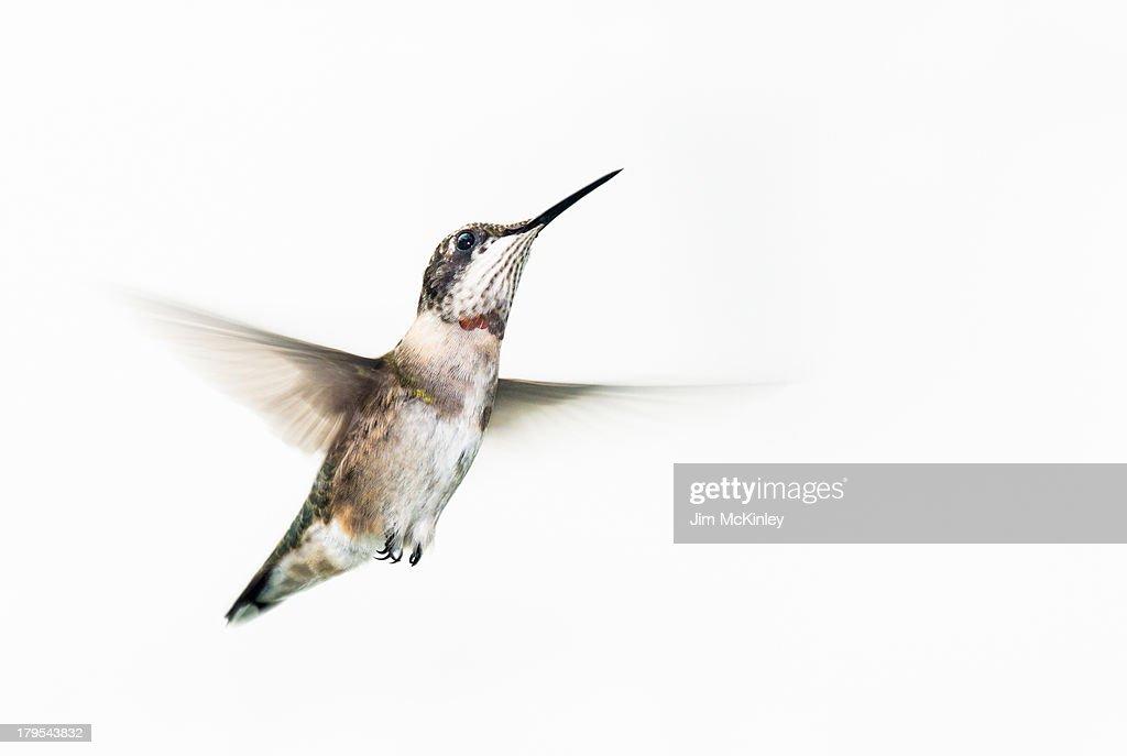 Male Ruby-throated Hummingbird : Stock Photo