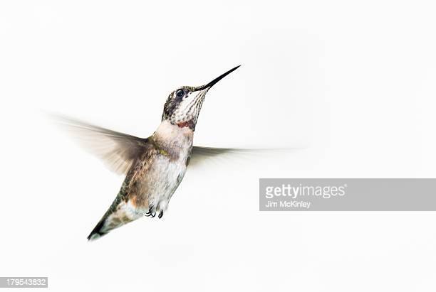 male ruby-throated hummingbird - colibri photos et images de collection