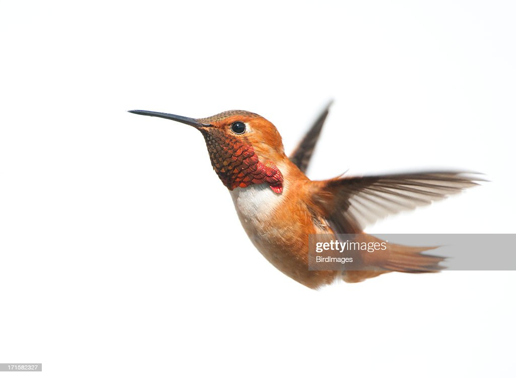 Male rufous Hummingbird flying on a white background : Stock Photo