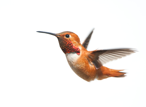 Male rufous Hummingbird flying on a white background 171582327