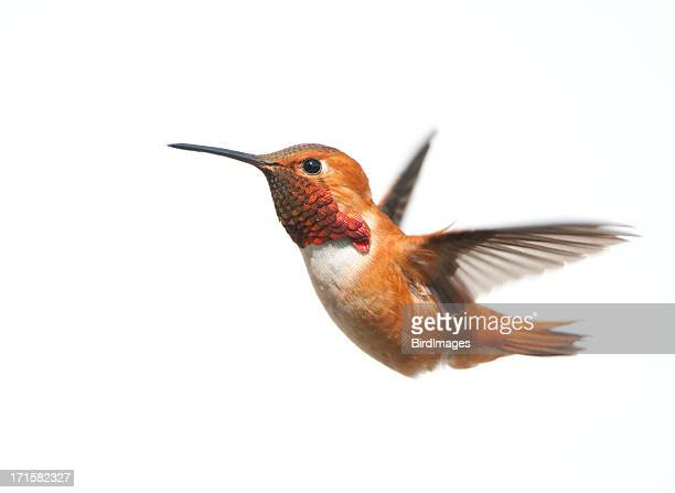 Male rufous Hummingbird flying on a white background