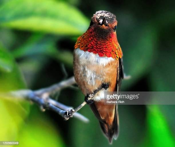 Male Rufous Hummingbird guarding his territory
