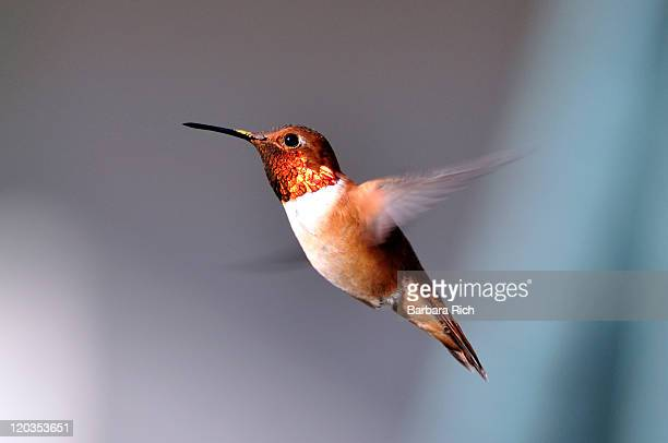 Male rufous hummingbird in flight