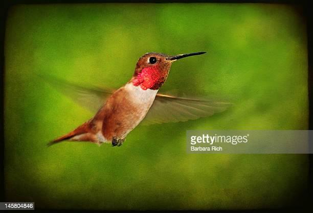Male rufous hummingbird on textured background