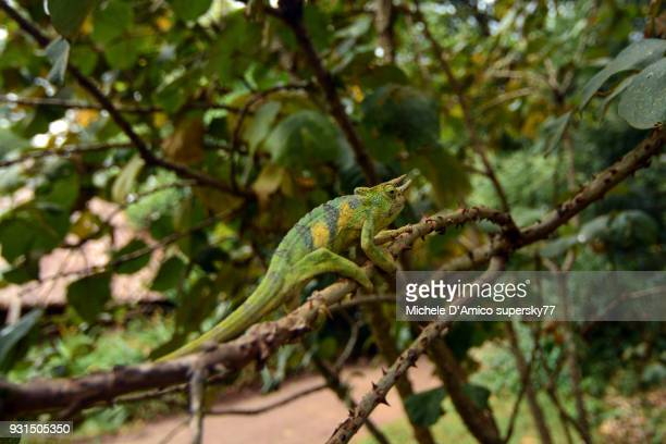 male rwenzori three-horned chameleon (trioceros johnstoni) - east african chameleon stock pictures, royalty-free photos & images