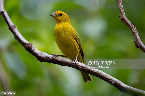Male saffron finch perched on branch in the Pantanal