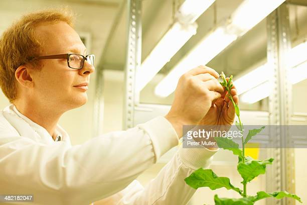 Male scientist picking sample from plant