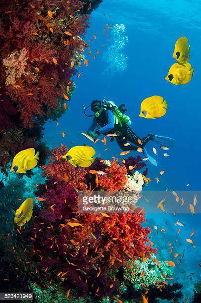 male scuba diver with corals - red sea stock pictures, royalty-free photos & images