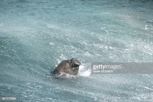 Male sea Elephant Crozet Archipelago Elephant de mer mâle Archipel Crozet
