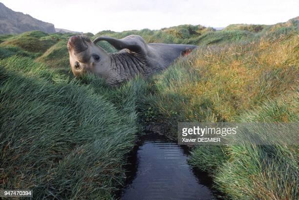 Male sea elephant Crozet Archipelago Eléphant de mer mâle Archipel Crozet