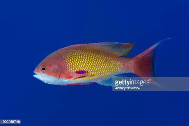 Male sea goldie (Pseudanthias squamipinnis) in blue water, Red sea, Sharm El Sheikh, Sinai Peninsula, Egypt