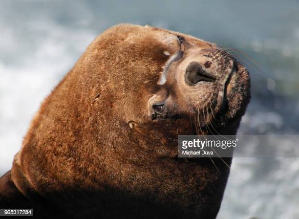 male sea lion on the rocky coast of the pacific ocean - manly wilder stock-fotos und bilder