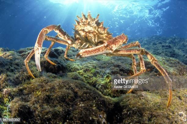 Male sea spider or squinada Nature reserve of Scandola in the Mediterranean Araignée mâle ou esquinade Réserve naturelle de Scandola en mer...