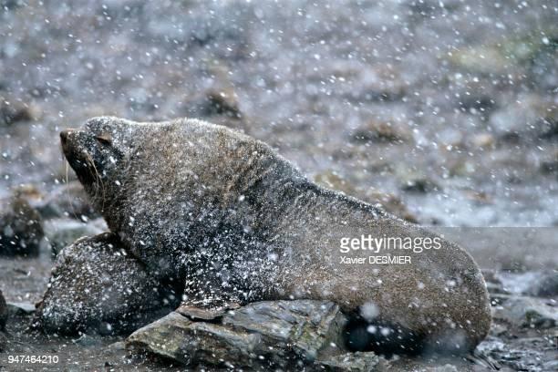 Male seal South Georgia Otarie mâle Géorgie du Sud