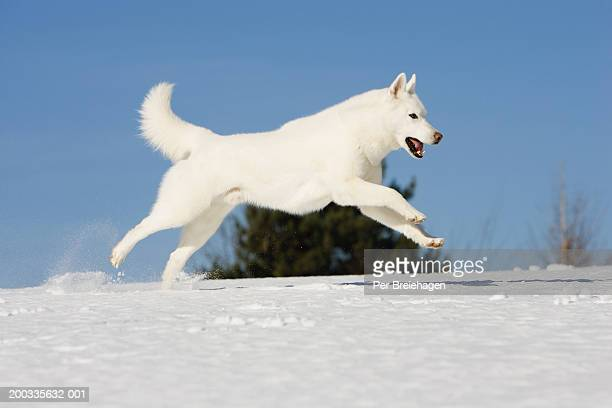 Male Siberian husky running over snow, side view, winter