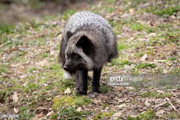 Male Silver Fox Walking