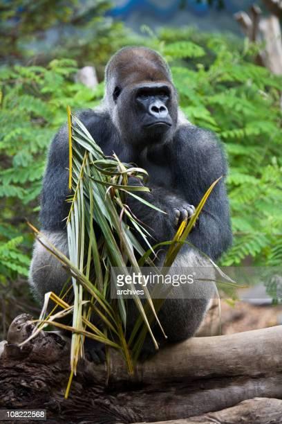 macho gorila lomo plateado sentado en el árbol en el bosque - gorila lomo plateado fotografías e imágenes de stock