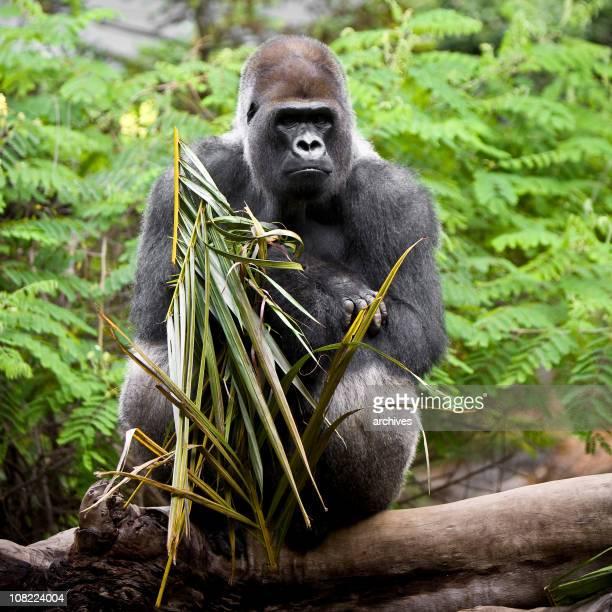 Male Silverback Gorilla Sitting on Tree in Rain Forest
